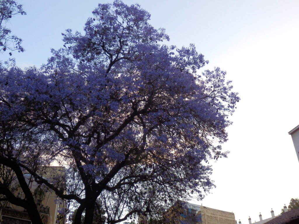 Trees in bloom in Santiago, chile